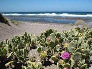 Cactus on the beach - La Duna Ecology Center